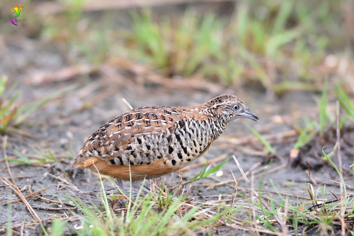 Barred_Buttonquail_9324