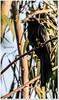 Asian Koel Male / ஆண் குயில்