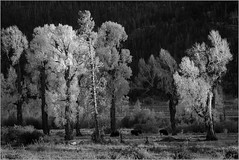 Autumn Trees By Ron Szymczak Award & POM Monochrome Prints March 2017