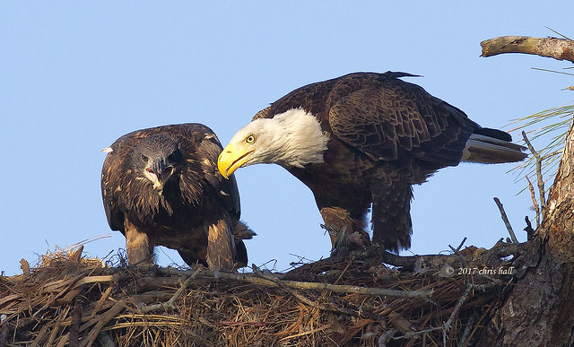 Bald Eagle Eaglets, Canon EOS 7D, Canon EF 600mm f/4L IS