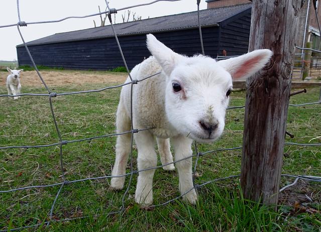 Lammetje. Lamb., Sony DSC-HX90V, Sony 24-720mm F3.5-6.4
