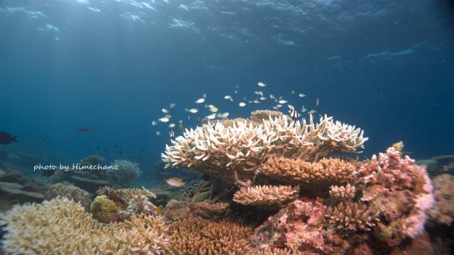 極上サンゴとデバスズメダイの群れ