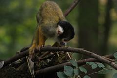 animal, branch, monkey, nature, mammal, squirrel monkey, fauna, new world monkey, wildlife,