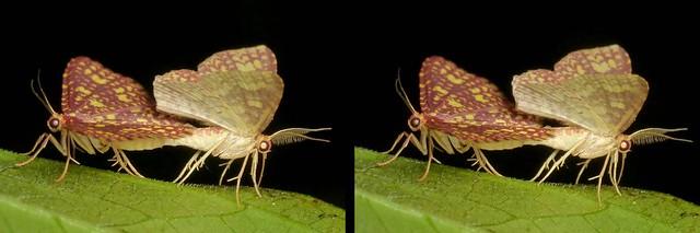 Geometrid Moths mating, Eois sp.