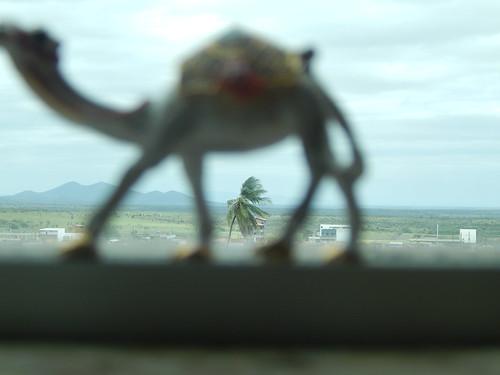 O camelo em Ipirá-BA