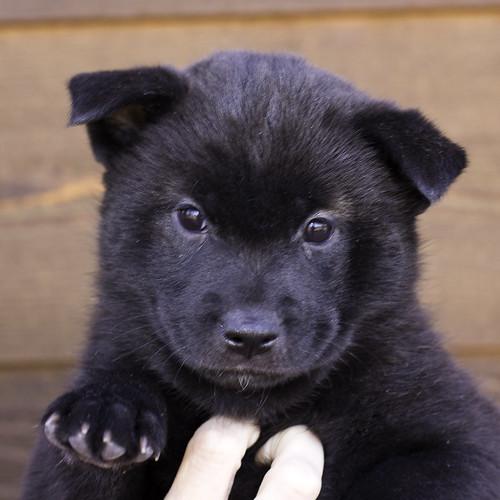 Nori-Litter2-47Days-Puppy3(female)a