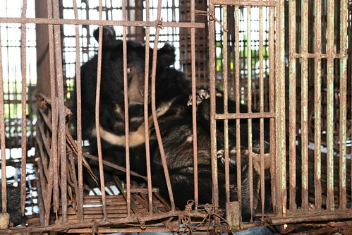 Bears languish on a bear bile farm in Vietnam's Quang Ninh province, 2014 (2)