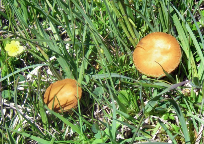 Agrocybe paludosa 15279606748_d54fac3c32_o