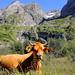 La vache de l'Arcelin by nic( o )