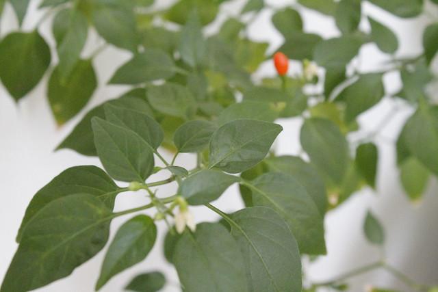 detalle planta hojas cayena