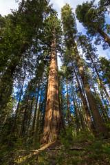Giant Sequoia 3