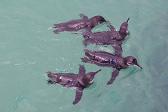Galapagos Penguin, Isabela Island, Galapagos Islands