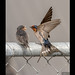 Welcome Swallow 33
