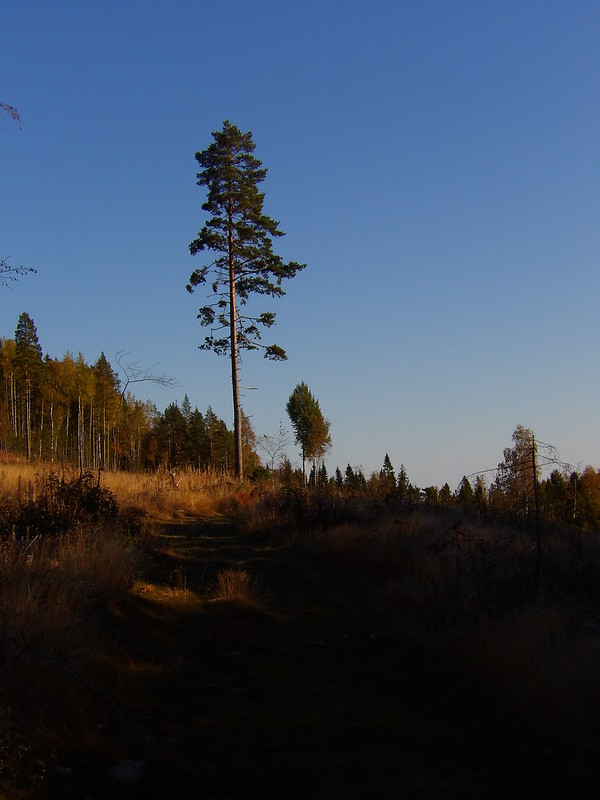 Lone Pine, Skuleskogen
