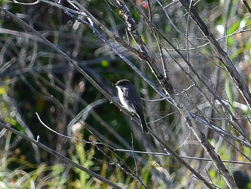 easternphoebe sayornisphoebe
