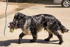 dog breed, animal, dog, boykin spaniel, large mã¼nsterlã¤nder, pet, mammal, small mã¼nsterlã¤nder, field spaniel, setter, russian spaniel, english cocker spaniel, picardy spaniel, blue picardy spaniel, spaniel, german spaniel,