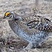 Sharp Tailed Grouse Dancing