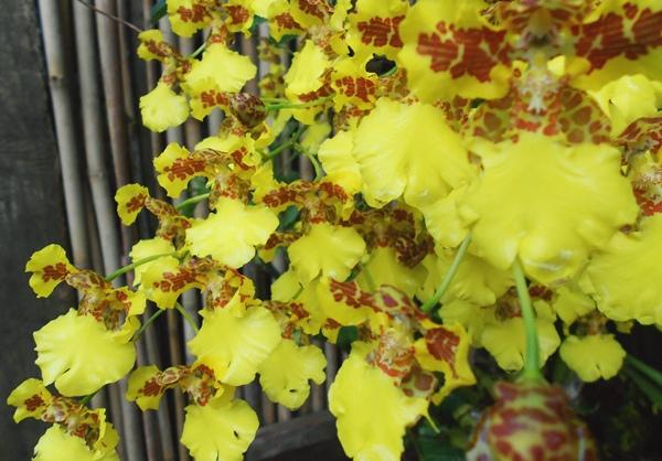 primavera, flores, amarelas, orquídea