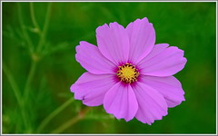 plant(0.0), annual plant(1.0), flower(1.0), garden cosmos(1.0), macro photography(1.0), flora(1.0), cosmos(1.0), petal(1.0),