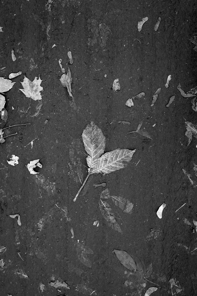 5/10/14 Leaves, Fallen Flat