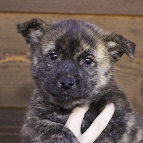 Nori-Litter2-47Days-Puppy2(male)a