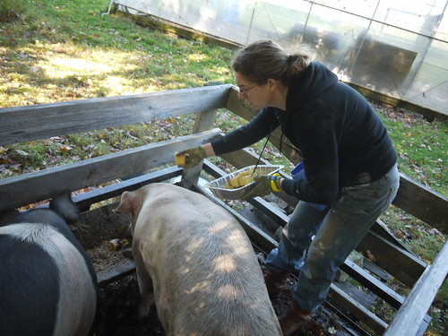 Loading pigs