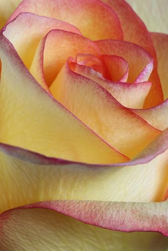 Rose Study III (SOTC 126/365)