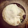 #Wesley, the #pizzacat. #cat #whitecat
