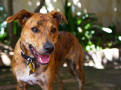 street dog(0.0), terrier(0.0), louisiana catahoula leopard dog(1.0), dog breed(1.0), animal(1.0), dog(1.0), pet(1.0), mammal(1.0),