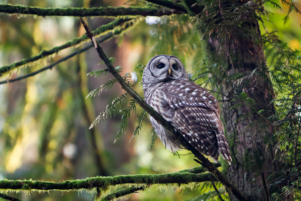 Autumn Barred Owl