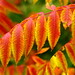 Firey Sumac (10 13 2014) by PhotoDocGVSU