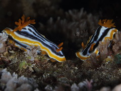 animal, fish, marine biology, invertebrate, macro photography, fauna, close-up, sea slug, underwater, reef, wildlife,