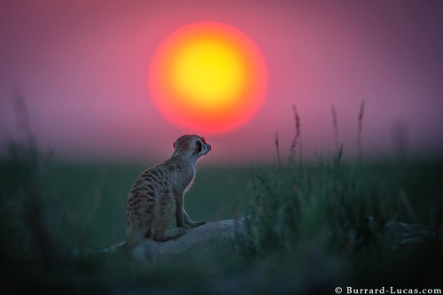 sunset meerkat africansunset africanwildlife