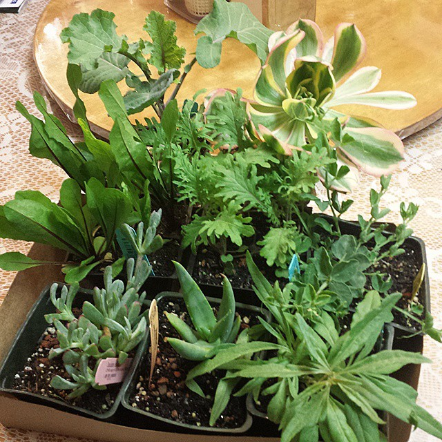 My new plants from Annie's Annuals & Perennials. (top to bottom, left to right) Kale 'Richmond' Pride' (Purple Tree Collard), Sunburst Aeonium, Dandelion 'Red Rib', Red Russian Kale, Blue Vein Sweet Pea, Oscularia caulescens, Cat's Tail Aloe and Goji Berr
