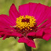 Zinnia by G.Sartori.510 Thanks 5.2 Mega Views