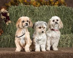 puppy(0.0), cavachon(0.0), schnoodle(0.0), spaniel(0.0), goldendoodle(0.0), dog breed(1.0), animal(1.0), dog(1.0), pet(1.0), mammal(1.0), poodle crossbreed(1.0), havanese(1.0), dandie dinmont terrier(1.0), cockapoo(1.0), cavapoo(1.0), american cocker spaniel(1.0),