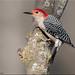 Red-bellied woodpecker by A Antal