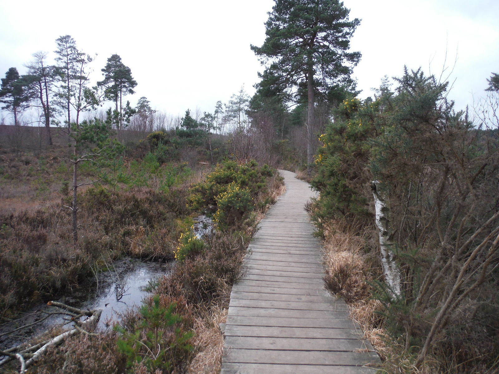 Boardwalk through Bog, Thursley Common SWC Walk 144 Haslemere to Farnham - Thursley Common Extension (Pudmore Pond Extension-within-the-Extension)