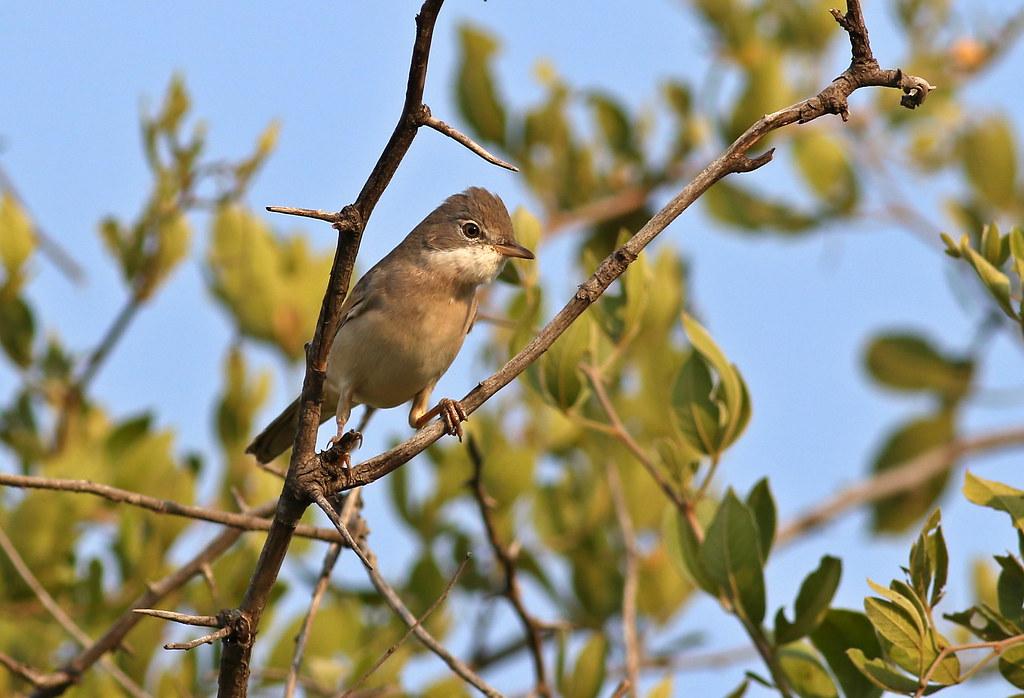 Common whitethroat, Sylvia communis at Zaagkuildrift Road near Kgomo Kgomo, Limpopo, South Africa