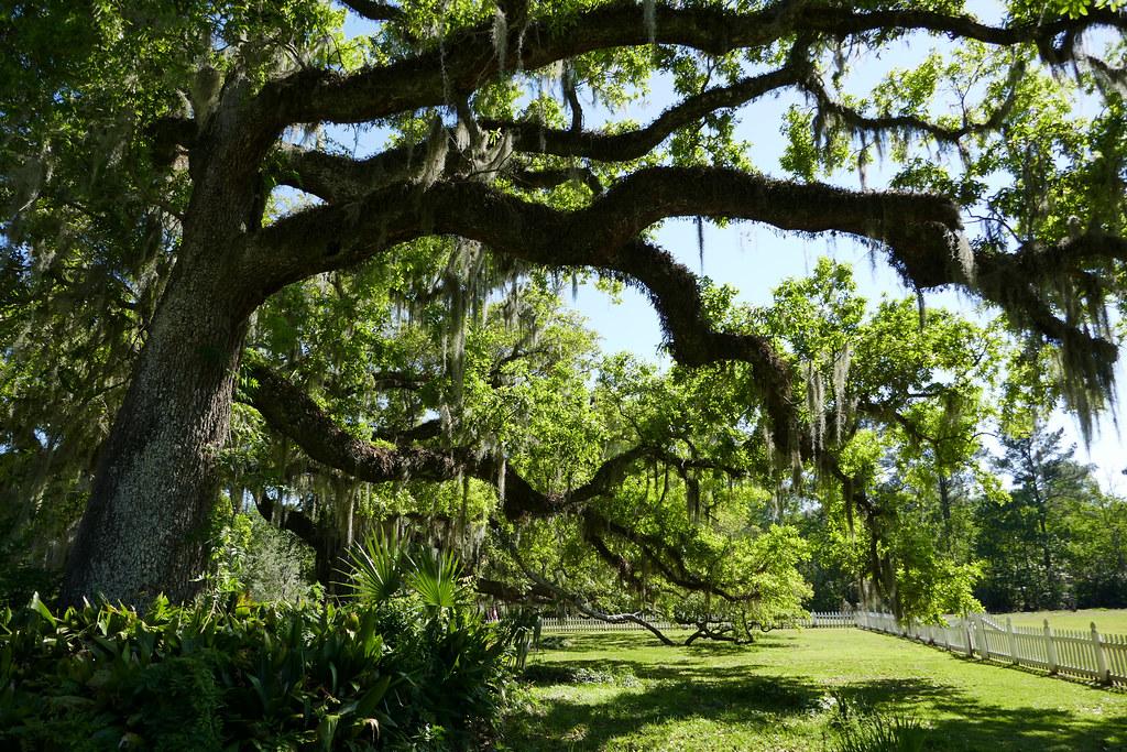 Huge old Live Oak tree - Riverside-Fairview State Park