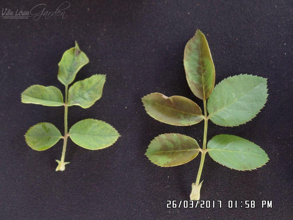 Lá hồng bên trái do bị bọ trĩ chích hút (lá cũng có các quầng màu xám trắng nhưng nhăn nheo, dúng lại, sần sùi). Cây bên phải là do bị nắng nóng làm lá bị bỏng