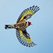 European Goldfinch (carduelis carduelis )- Taking flight !! by Clive Brown 72