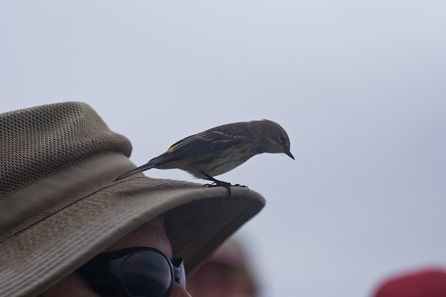 Yellow-rumped warbler comes aboard !