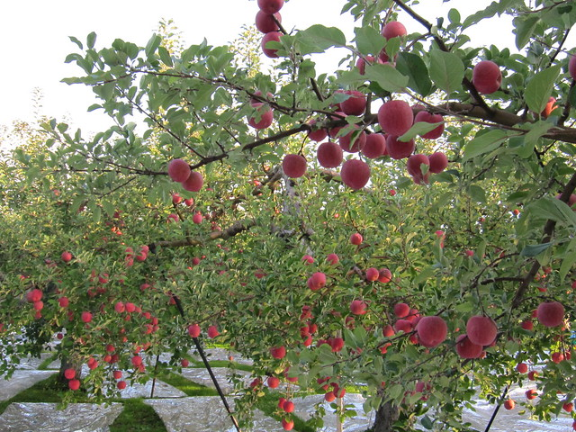 apples_20141018