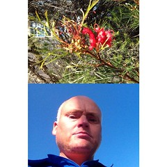 A native Grevillea - out for a wander at Tea Gardens #frontback @frontbackapp