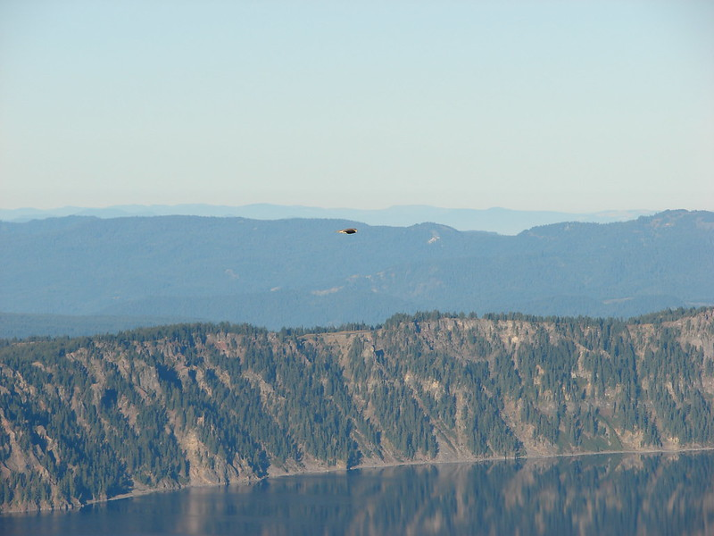 Hawk soaring over Crater Lake National Park