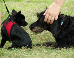 dog breed(1.0), animal(1.0), puppy(1.0), dog(1.0), grass(1.0), pet(1.0), mammal(1.0), vulnerable native breeds(1.0), scottish terrier(1.0), terrier(1.0),