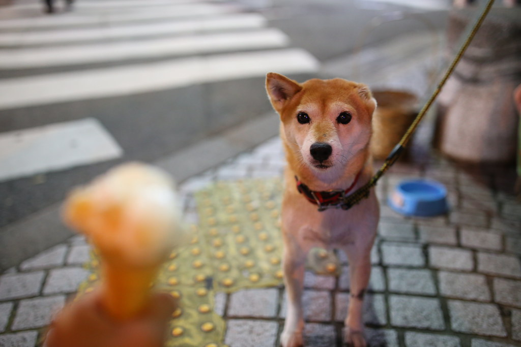 IMG_9630 福岡 中洲川端 柴犬  Photo by Toomore