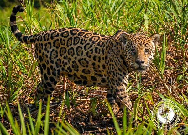 Jaguar Eye Contact in the Pantanal