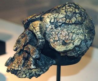 Kenyanthropus platyops fossil hominid (Nachukui Formation, Upper Pliocene, 3.3 to 3.5 Ma; Lomekwi, west of Lake Turkana, northern Kenya, eastern Africa) 2